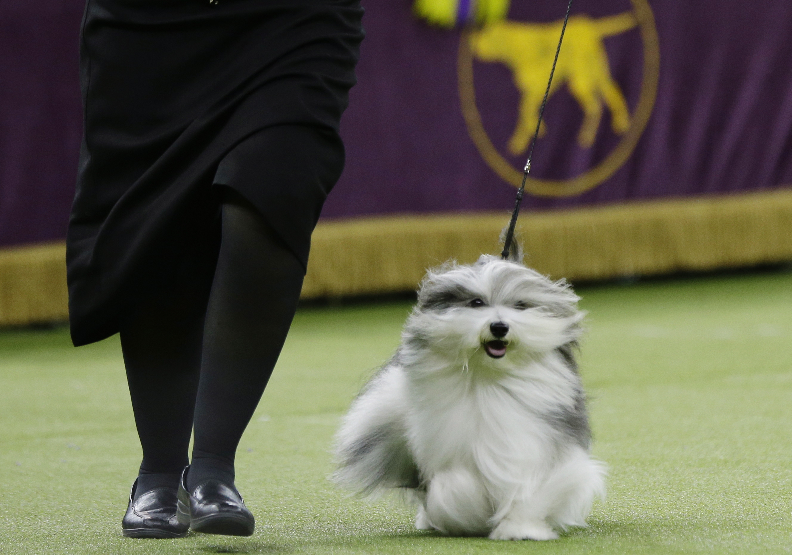Westminster 2020 Best In Show.Beautiful Dog Canadian Handler S Pooch Finishes Runner Up