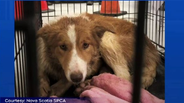 Spca Shelter Crowded After Seizure Of 35 Dogs From Wolfville Puppy