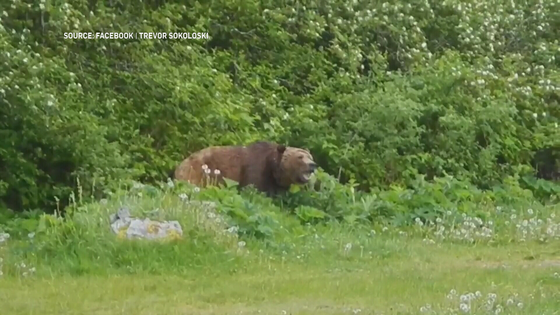 Campbell River grizzly sighting raises questions about