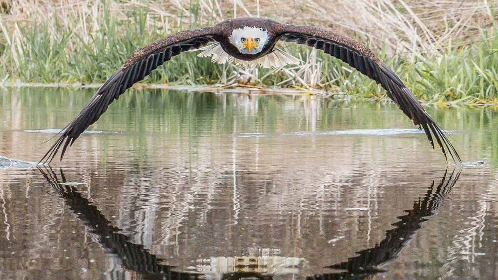 Image result for Canadian photographer's perfectly symmetrical bald eagle picture a viral hit
