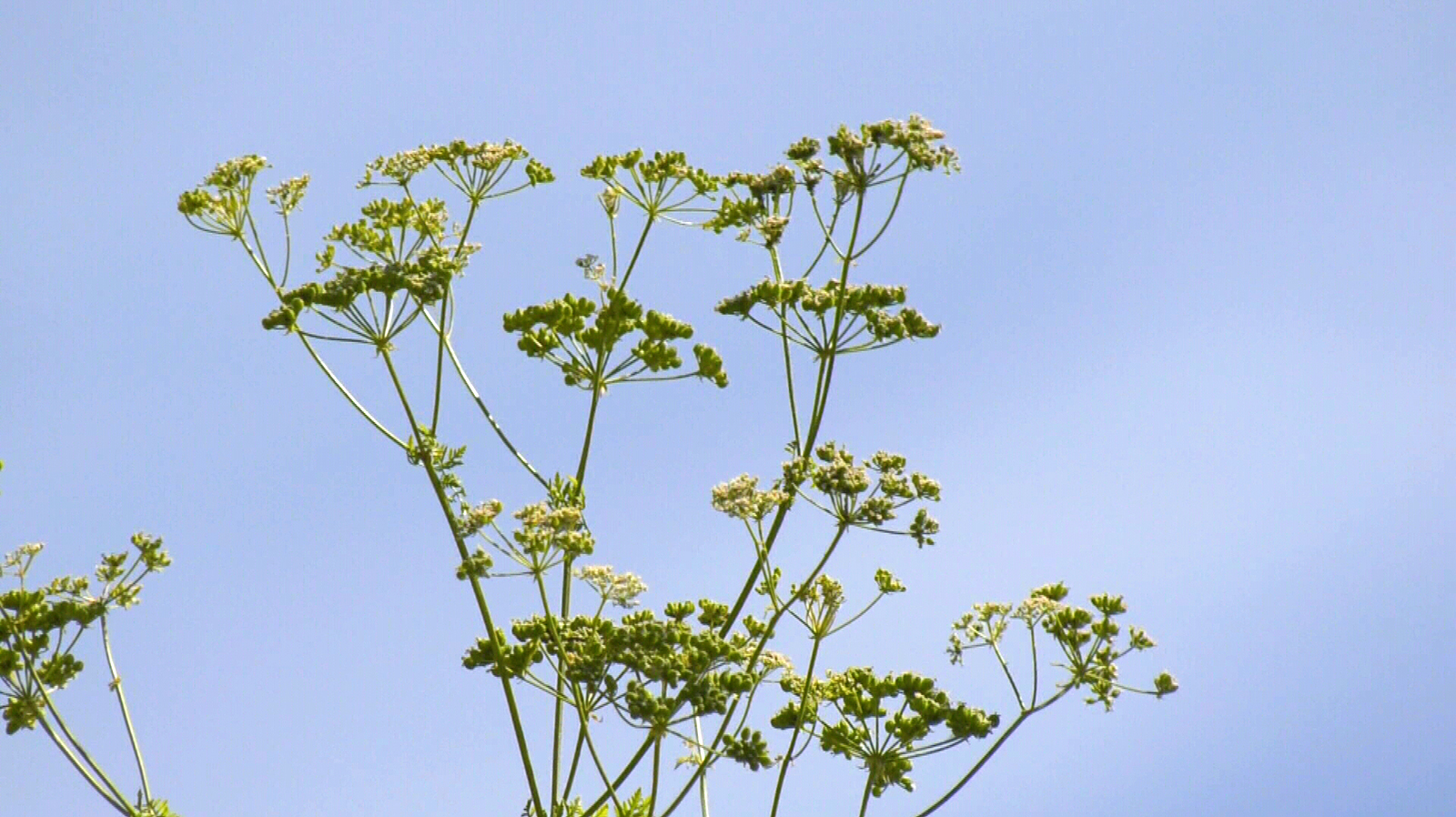 Invasive poison hemlock a growing concern on Vancouver