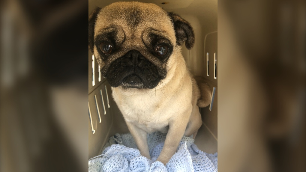 Vancouver Island breeder surrenders 21 pugs, French bulldogs