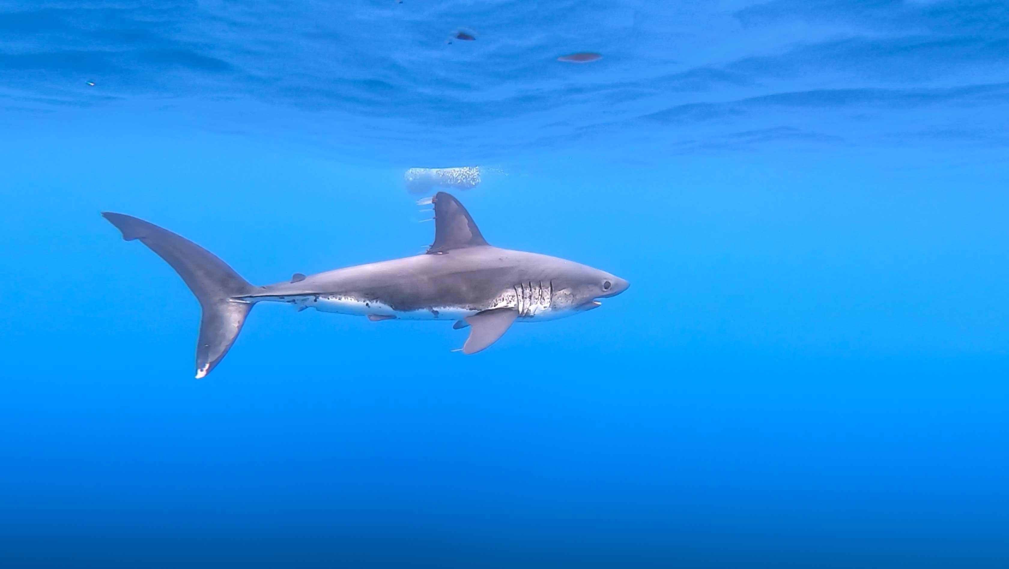 Salmon shark's 'scratching post' technique very rare