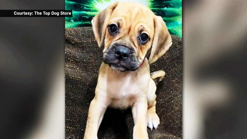 Puppy stolen from Calgary pet store found unharmed | CTV News