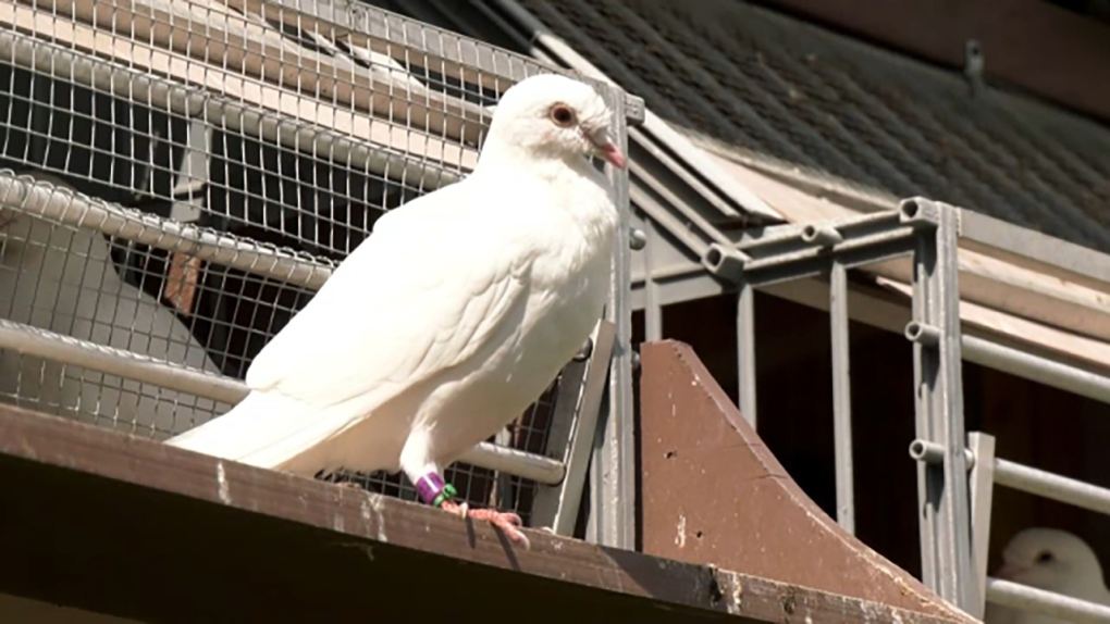 Little known Calgary Racing Pigeon Club oldest in Canada