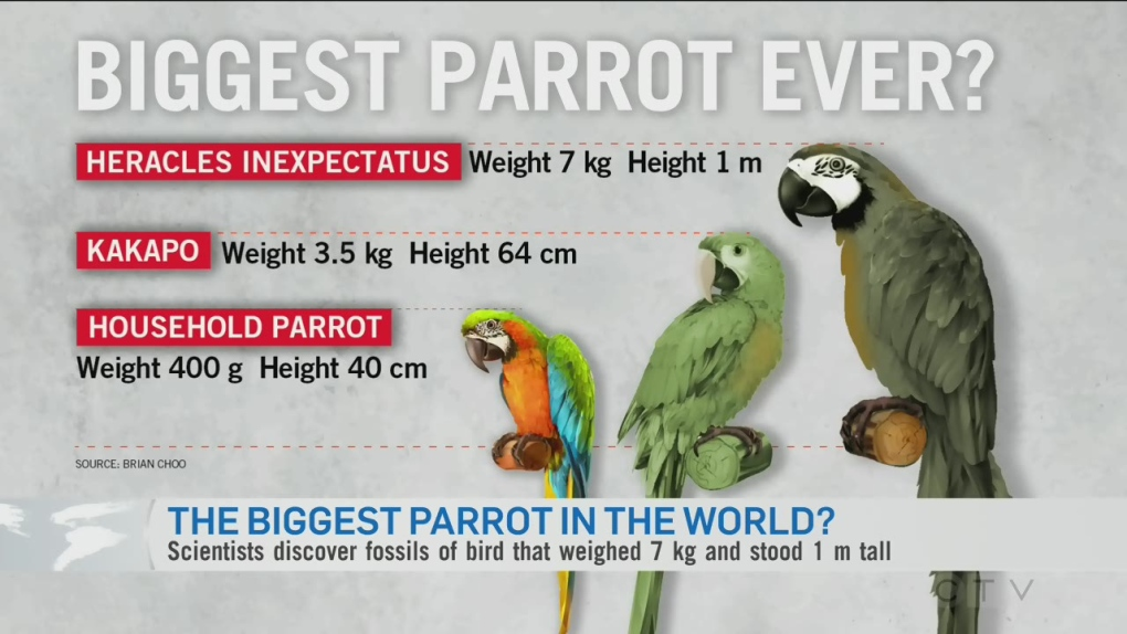 Evidence Of Herculean Parrot Found In New Zealand Ctv News