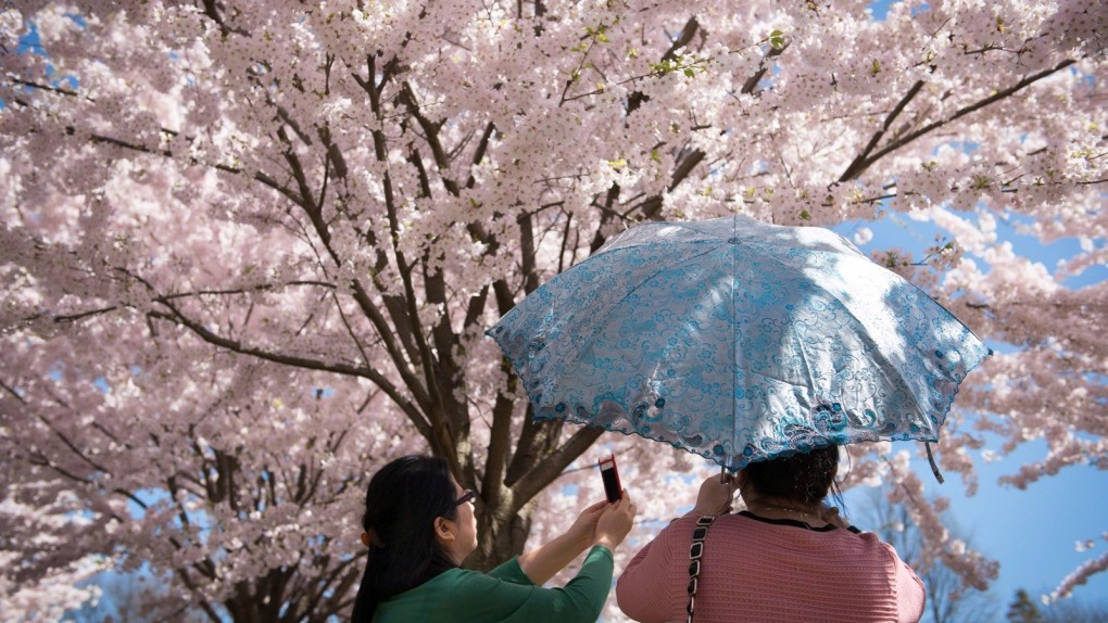 You Can Now Watch Toronto S Cherry Blossoms Bloom Live From Your Home Ctv News