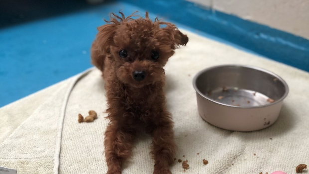 Stolen Teacup Poodle Mickey Prompts Search By Vancouver